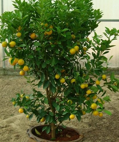 البرتقال الصيني Citrus mitis or Chinese oranges