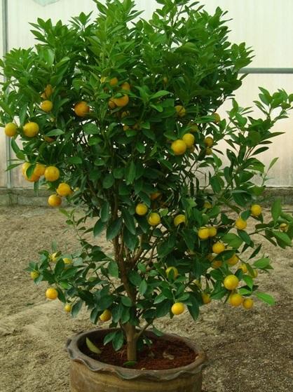 البرتقال الصيني Citrus mitis or Chinese oranges