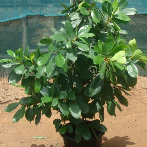Ficus cyathistipula or African Fig Tree