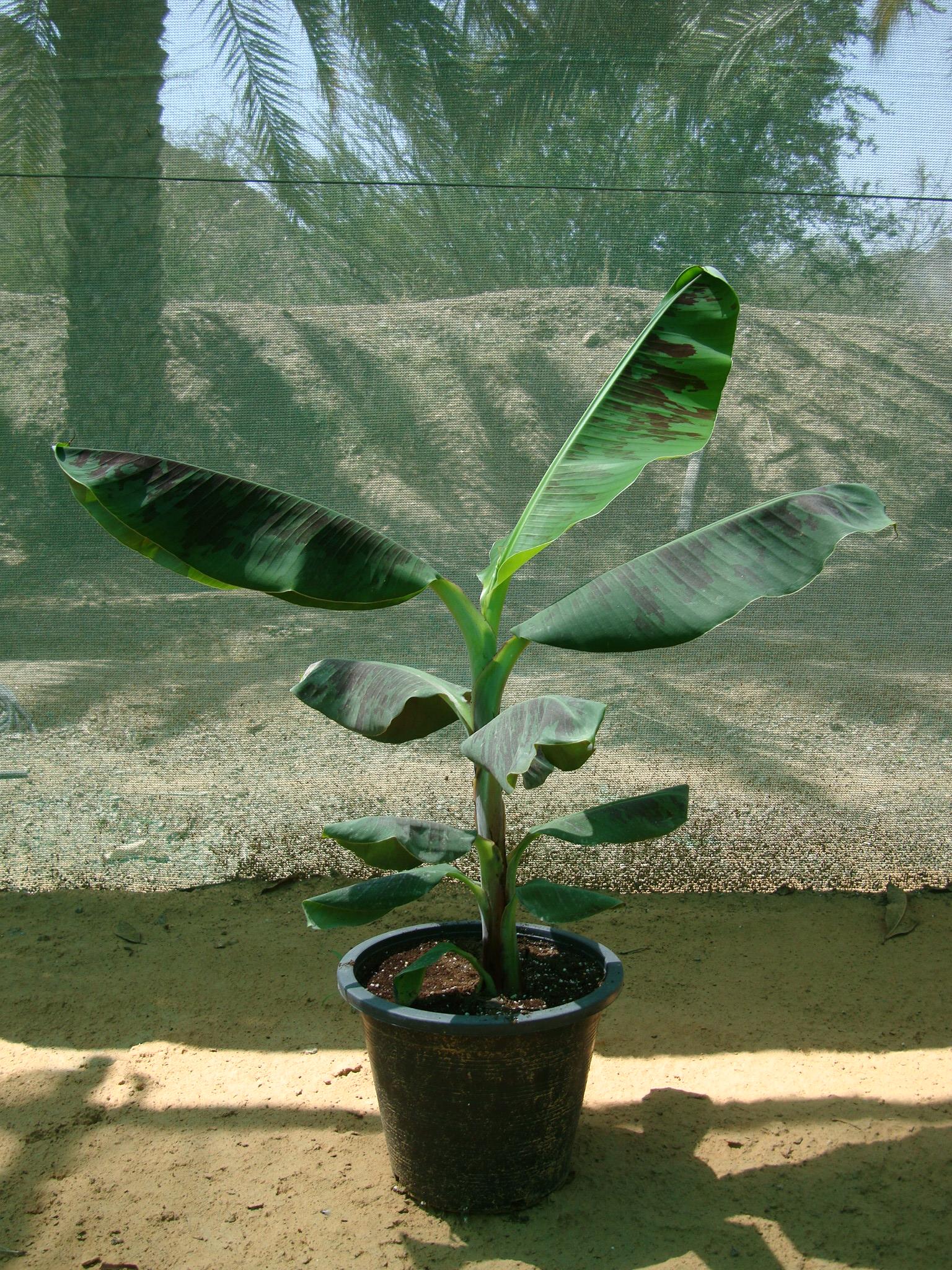 Musa paradisiaca, Banana tree شجرة الموز
