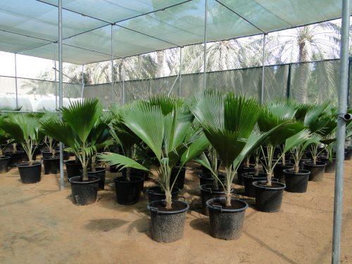 Pritchardia pacifica Fiji Fan palm
