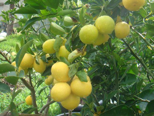 Lime 'Binzaheer'