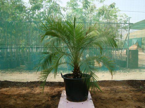 Phoenix roebelenii miniature date palm