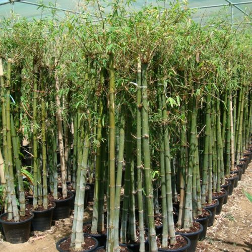 Bambus green or Tropical Bamboo