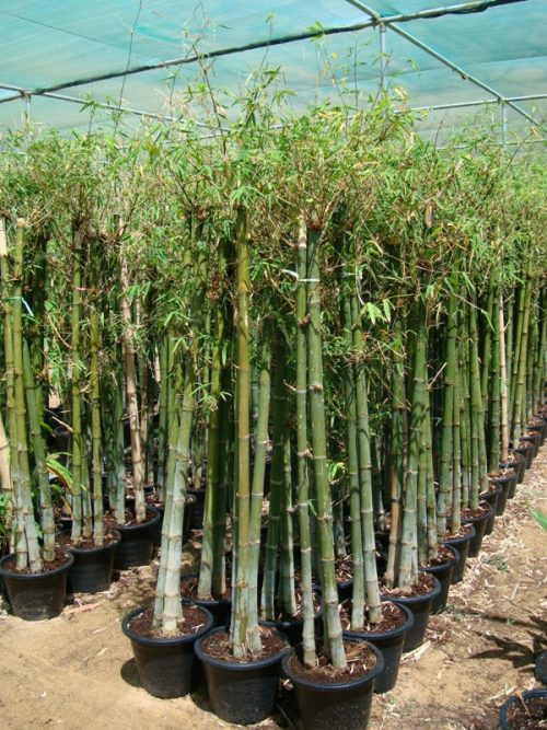 Bambus green or Tropical Bamboo