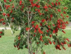 "Callistemon viminalis ""Bottle Brush"""