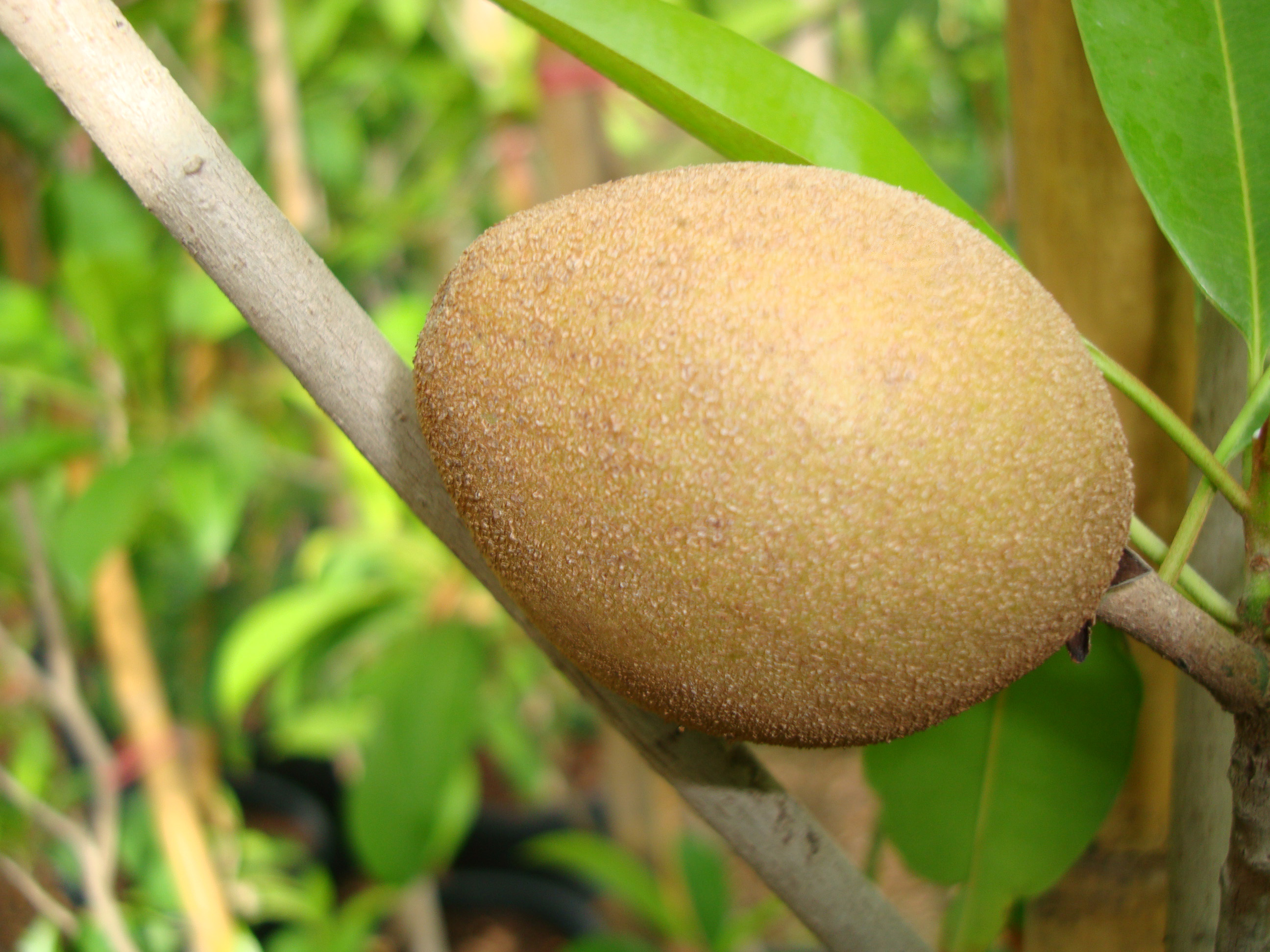 Manilkara zapota Or Chicko Tree شجرة الشيكو
