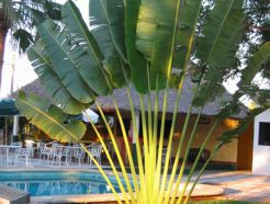 Ravenala madagascariensis travellers palm