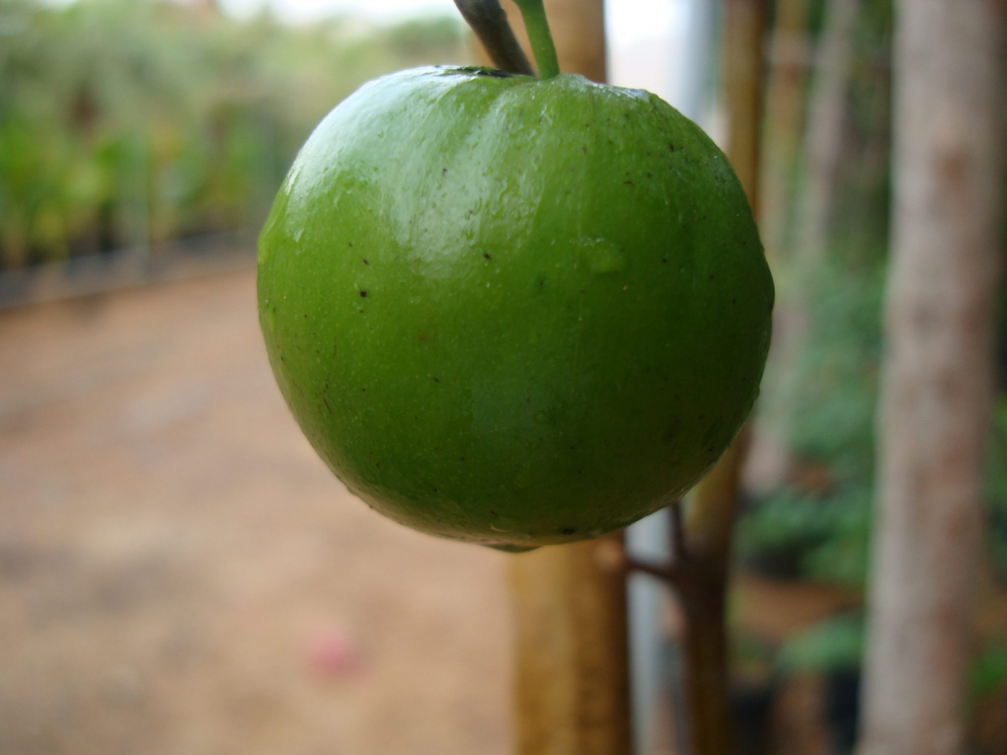 Ziziphus jujuba Or Jujube Tree شجرة عناب