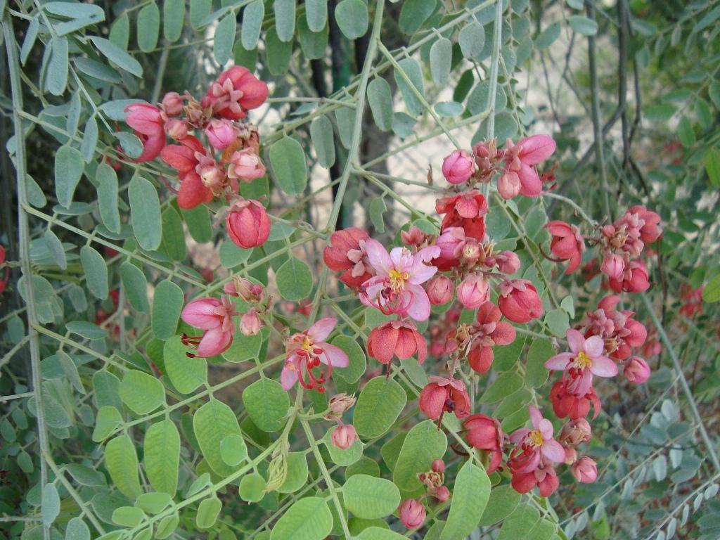 Cassia nodosa