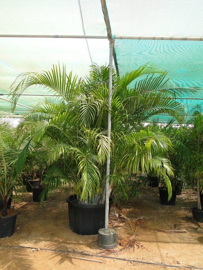 فراشة النخيل Areca palm butterfly palm or chrysalidocarpus lutescens