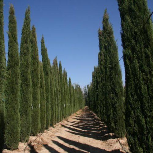 Cupressus sempervirens, Italian cypress, Italian cypress Tree