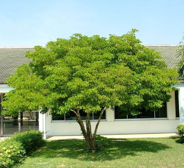 Guaiacum officinale, oughbark lignum-vitae or guaiac wood