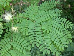 "Albizia lebbeck ""Lebbek tree or Frywood"""