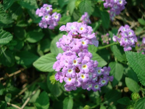 Lantana montevidensis Purple