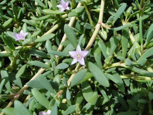 Sesuvium portulacastrum or Shoreline seapurslane