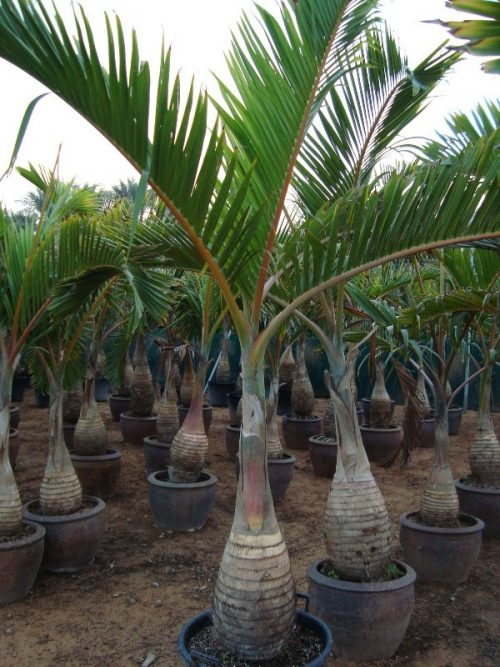Hyophorbe lagenicaulis, Mascarena lagenicaulis (Bottle Palm)