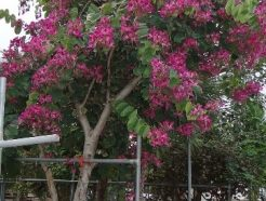 "Bauhinia purpurea ""Purple orchid Tree"""