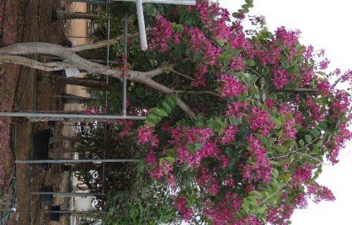 "Bauhinia purpurea ""Purple orchid Tree"""