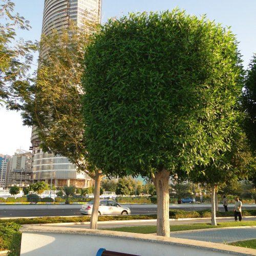 conocarpus Saudi buttonwood Conocarpus erectus 'Saudi' or Damas دمس tree