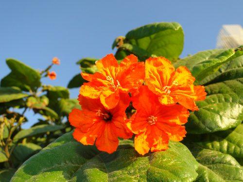 "Cordia sebestena ""Orange Geiger Tree, Sebesten plum, Geiger Tree"""