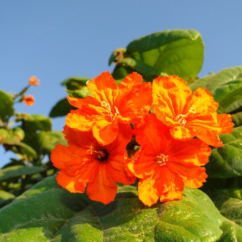 "Cordia sebestena ""Orange Geiger Tree, Sebesten plum, Geiger Tree"""