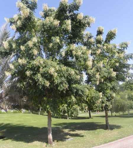 """Millingtonia hortensis """"Tree jasmine or Indian cork tree"""""""