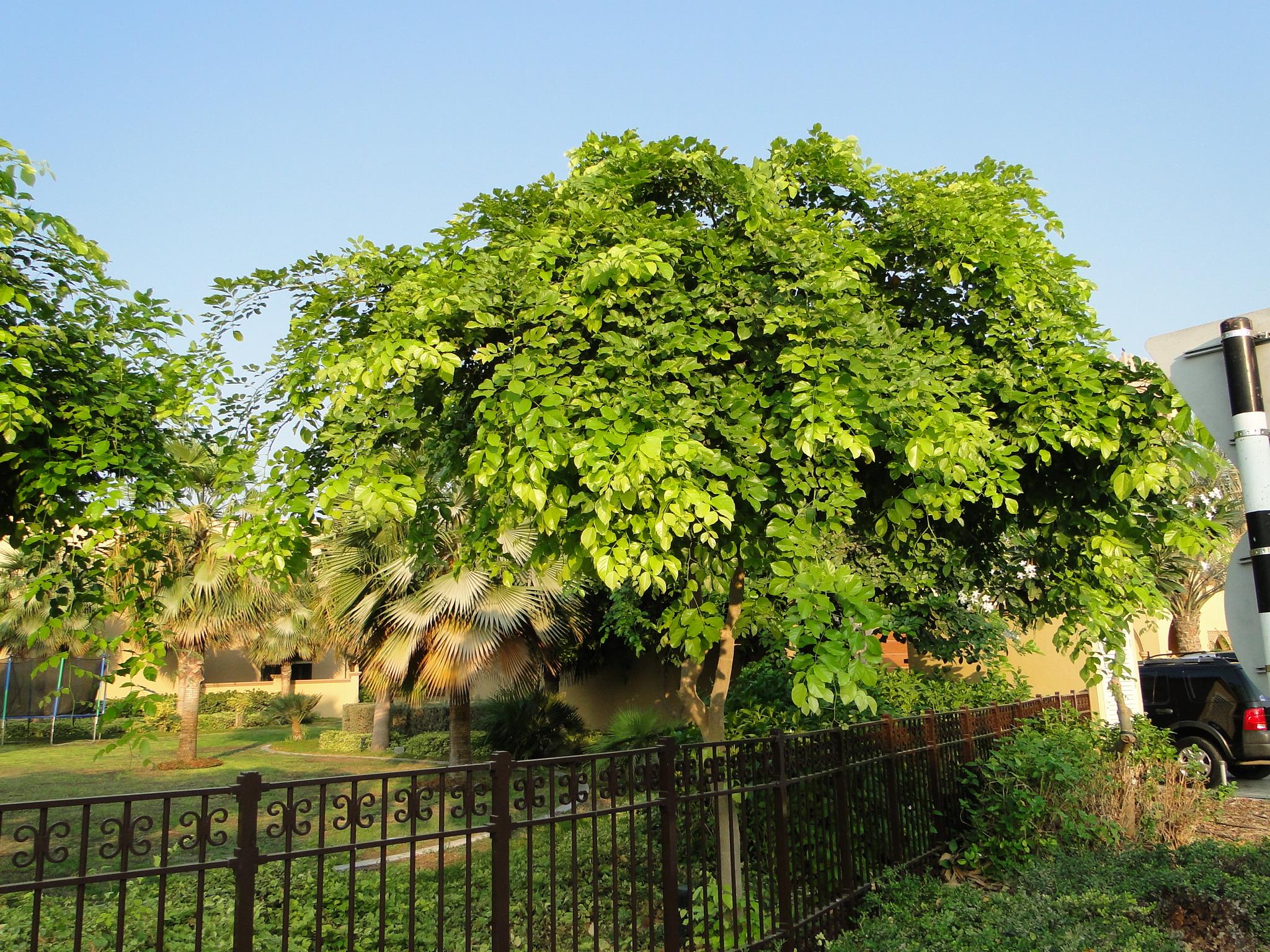 Pongamia glabra or Pongame oil tree