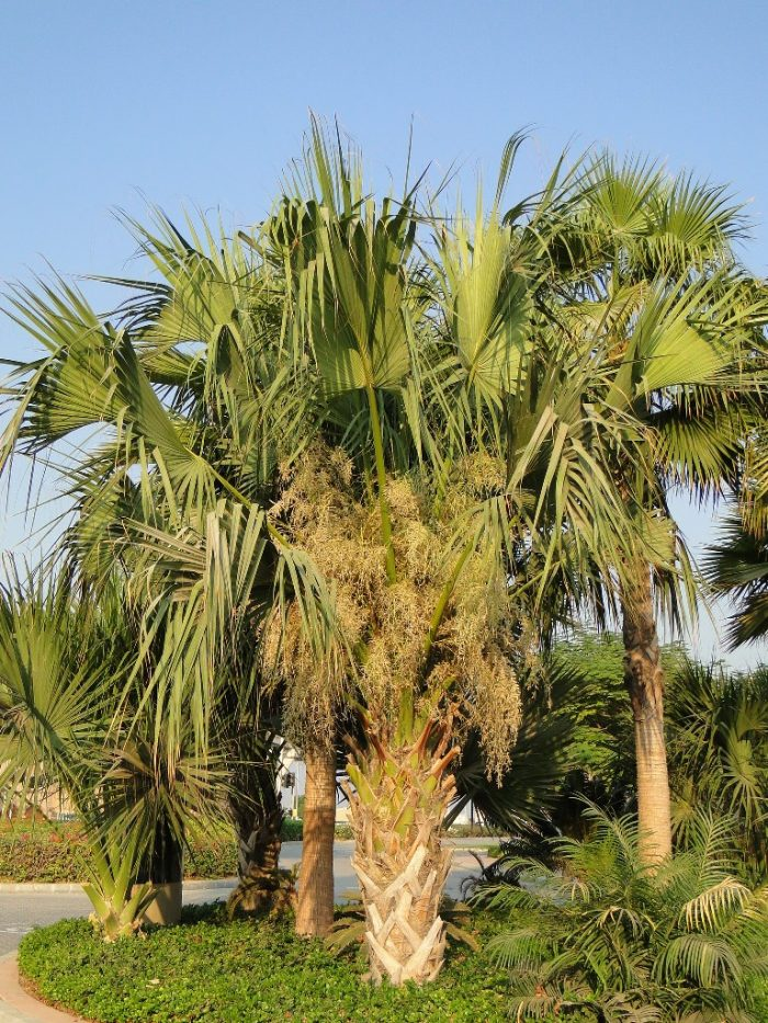 Sabal palmetto Cabbage Palmetto, Sabal Palm, Carolina Palmetto, Common Blue Palmetto