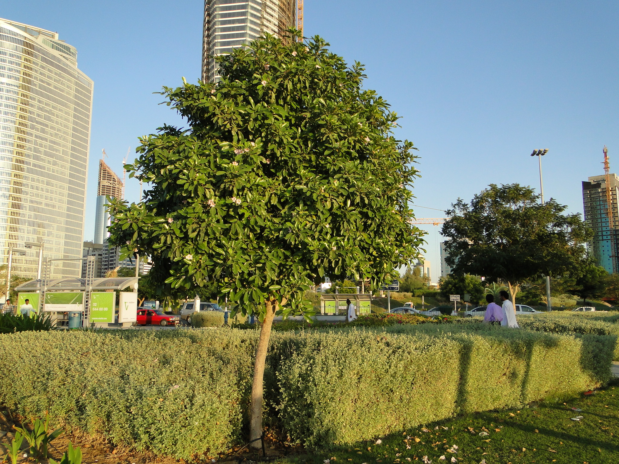 Tabebuia rosea Rosy trumpet tree