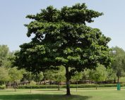 شجرة اللوز الهندية Terminalia catappa (Indian Almond Tree