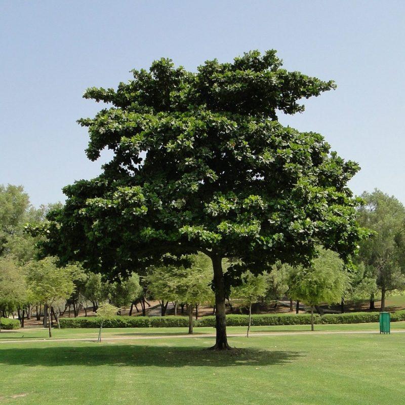 شجرة اللوز الهندية Terminalia catappa (Indian Almond Tree