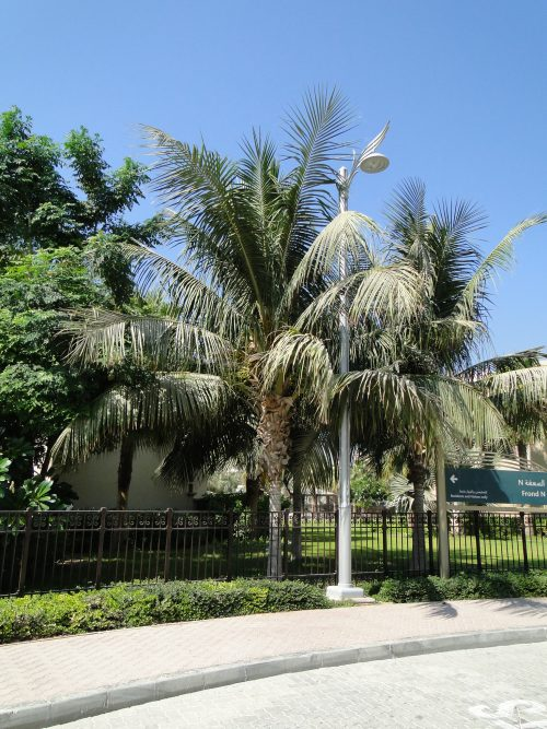 نخلة جوز الهند Cocos nucifera coconut palm