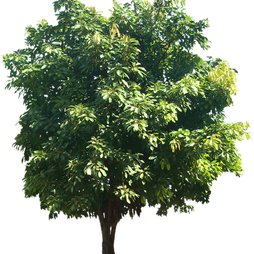 Ficus infectoria or Virens (White Fig)