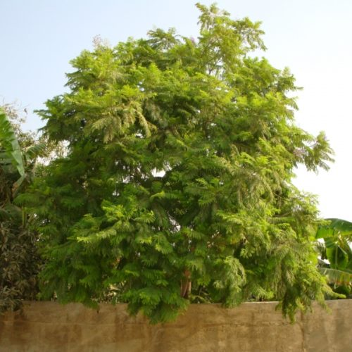 "Jacaranda mimosifolia ""blue jacaranda or black poui"""