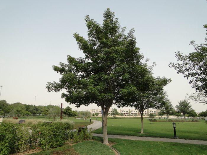 "Tabebuia pentaphylla ""Trumpet Tree or Pink Poui"""