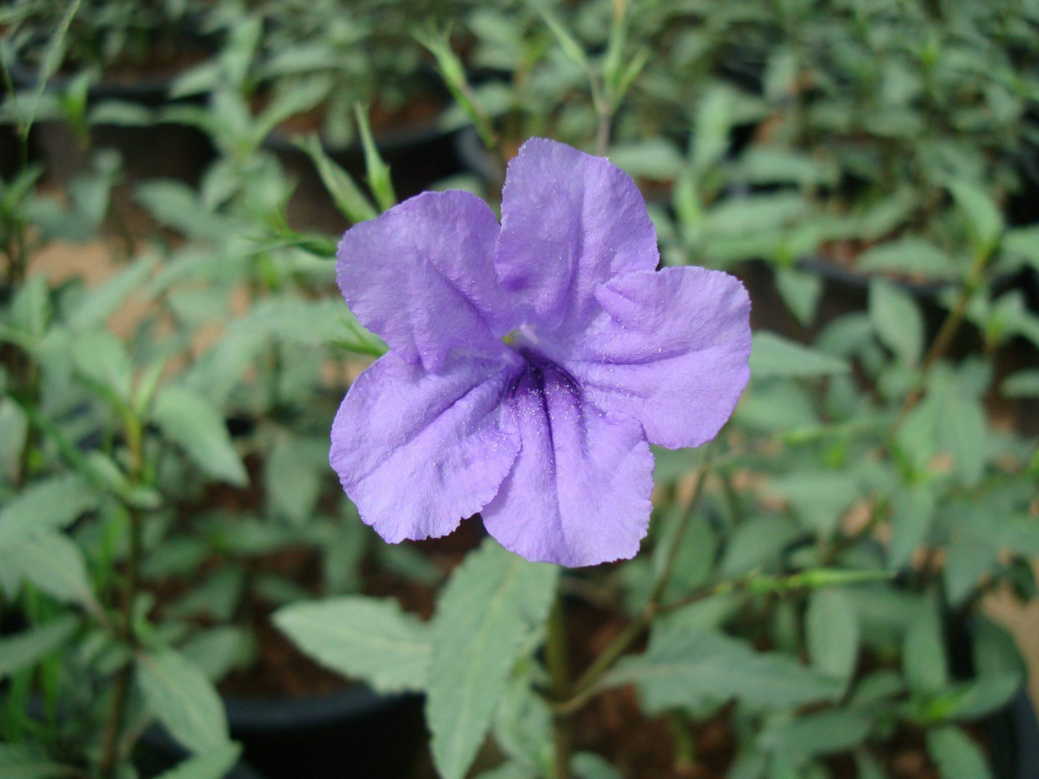 Ruellia ciliosa wild petunia