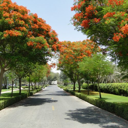 delonix regia flame tree