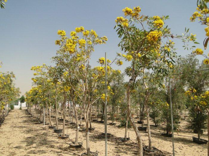 Tabebuia argentea, Yellow Tabebuia or Golden Bell Tree