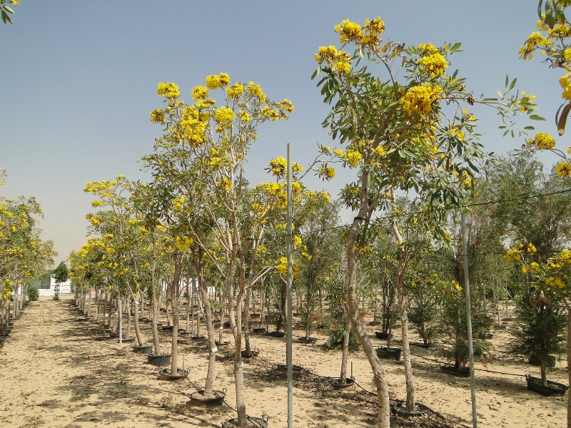 Tabebuia argentea, Yellow Tabebuia or Golden Bell Tree