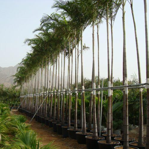 Carpentaria acuminata, Carpentaria palm