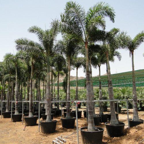 foxtail palm ثعلب النخيل wodyetia bifurcata