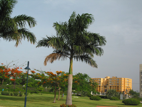 Roystonia regia Royal Palm النخيل الملكي