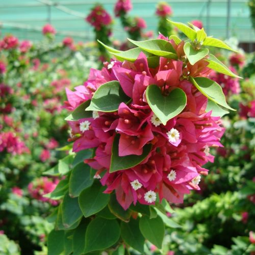 Bougainvillea 'Pink Pixie'