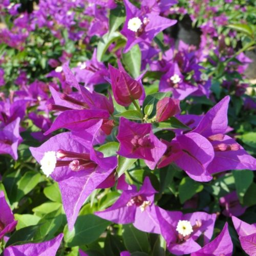 Bougainvillea alexandrea Or Purple Paper Flower