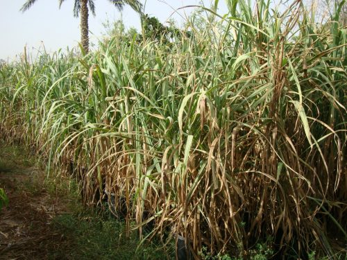 Saccharum Officinarum Or Sugarcane