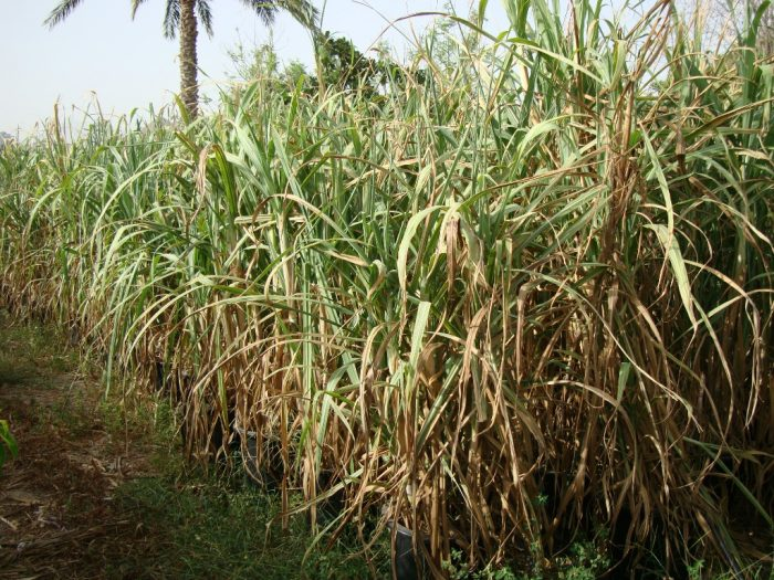 Saccharum Officinarum Or Sugarcane
