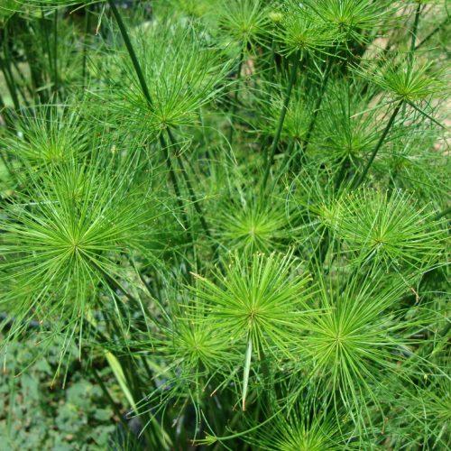 Cyperus haspan or dwarf Cyperus