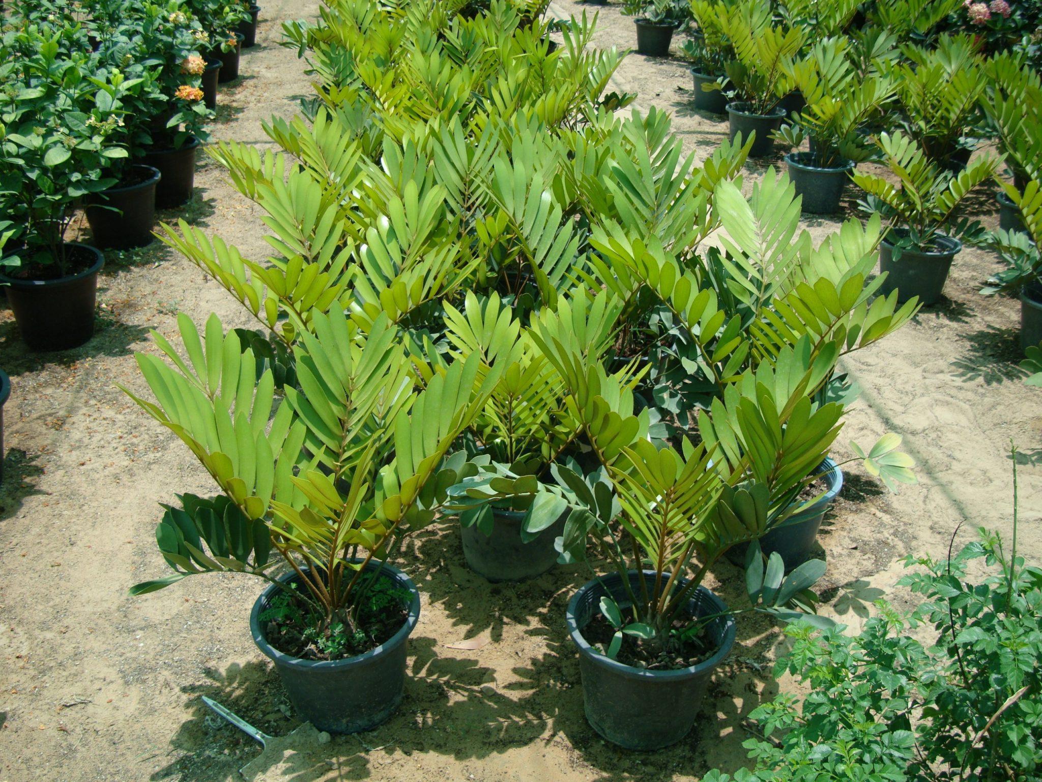 Zamia furfuracea, Cardboard palm