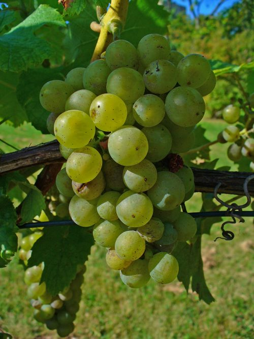 العنب فاين Vitis vinifera Or Grapes Vine